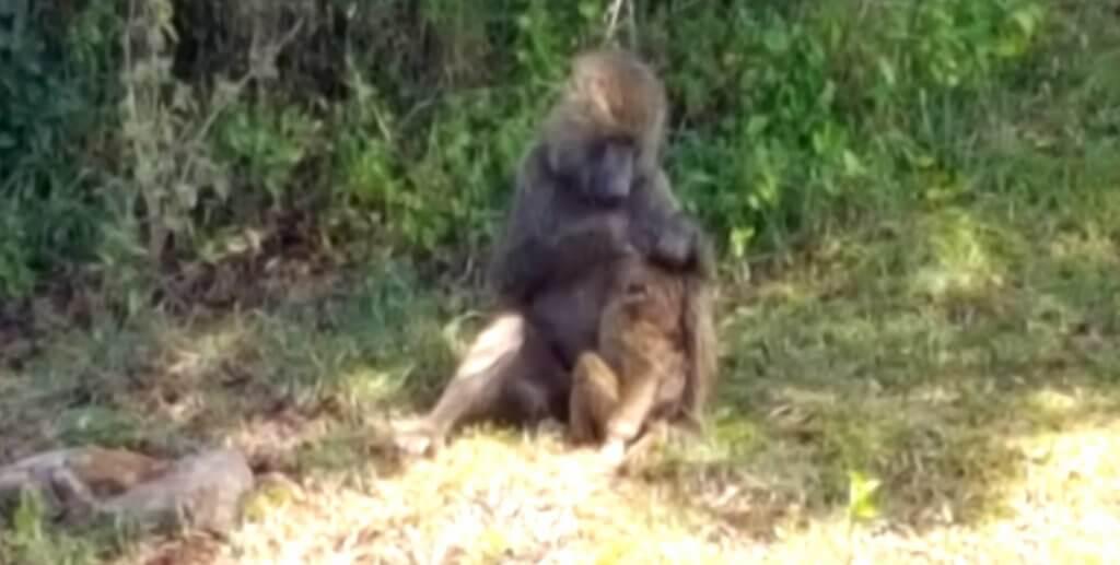Affenmutter im Arusha Nationalpark Kilimanjaro